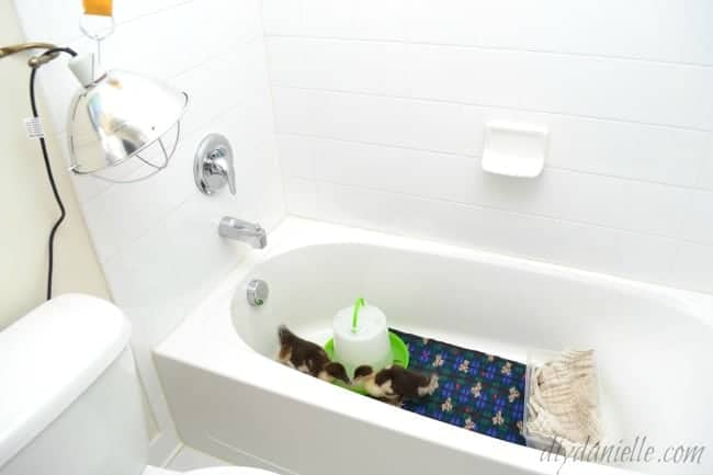 Brooder in a bathtub is easy to clean.