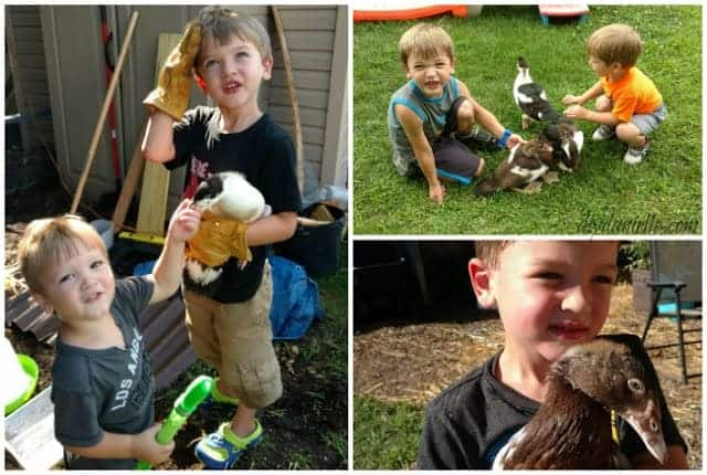 Ducks make great pets for children if they're socialized properly.