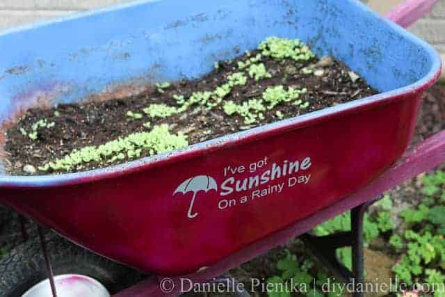 raingarden lettuce wheelbarrow