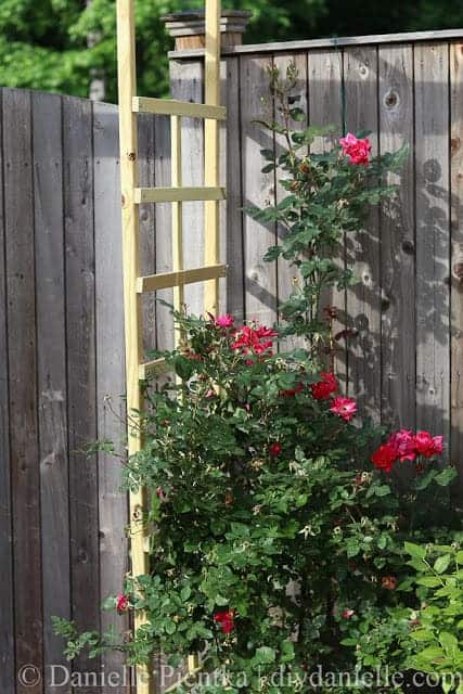 DIY Trellis with knockout roses.
