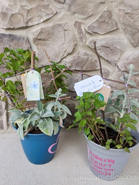 Planters made for two teachers at school. Easy project and there's a gift card attached as well. Love using the mint and lamb's ear from the garden.