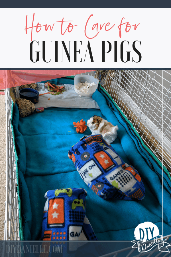 Guinea pig care 101: Learn how to care for a new guinea pig.