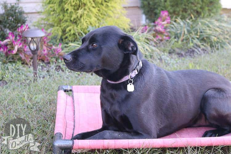 Black lab mix sitting on his DIY dog bed made from PVC pipes.