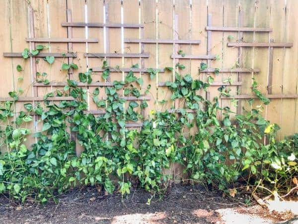 Trellis attached to a privacy fence.