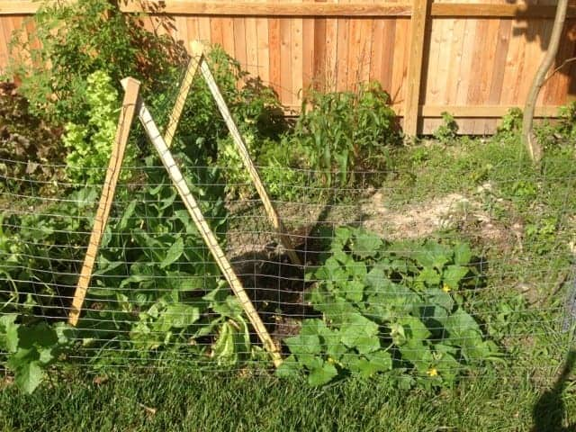 Simple wire and wood trellis for cucumbers.