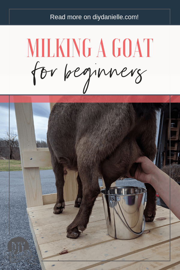 A beginner's guide to learning how to milk a goat. Here are all the things you need to know about owning a Nigerian Dwarf goat for milk.