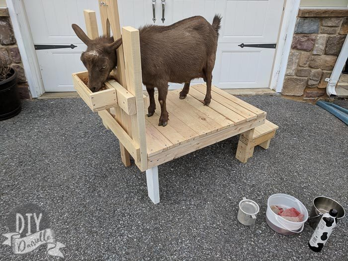 DIY Milking stand for Nigerian Dwarf Goats with a step and stanchion.