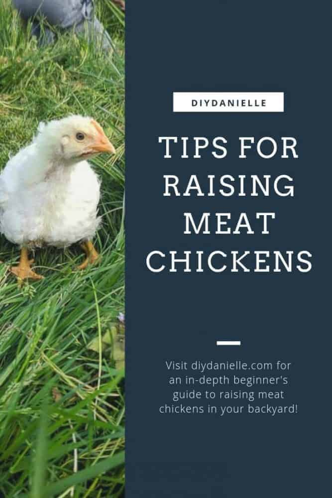 Tips for raising meat chickens in your backyard: An in-depth guide and analysis of the cost.