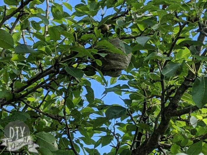 Wasp nest in a pear tree.