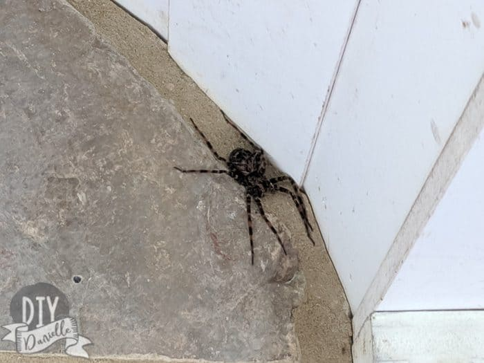 What we believe is a huge fishing spider.