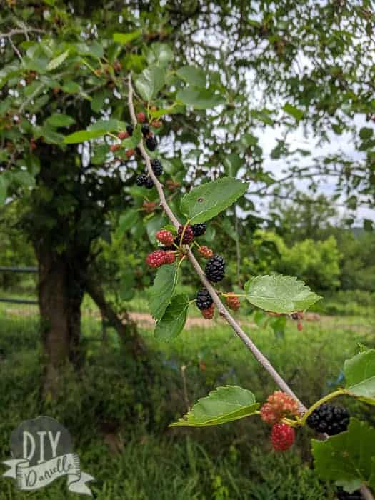 Mulberries growing on our tree.