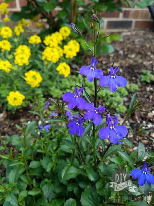 Lobelia flowers are blue and are great for a shade garden.