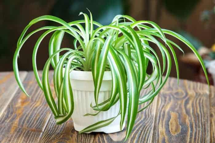 Spider plant on wood table.