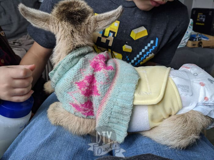 Yellow belly band on a baby male goat. Sweater over the belly band and a disposable diaper on for poop.