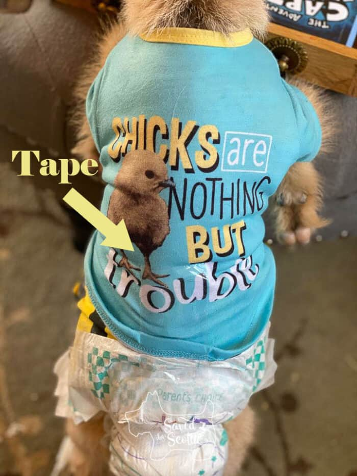 Goat in dog sweater and disposable baby diaper. Tape holding it on.