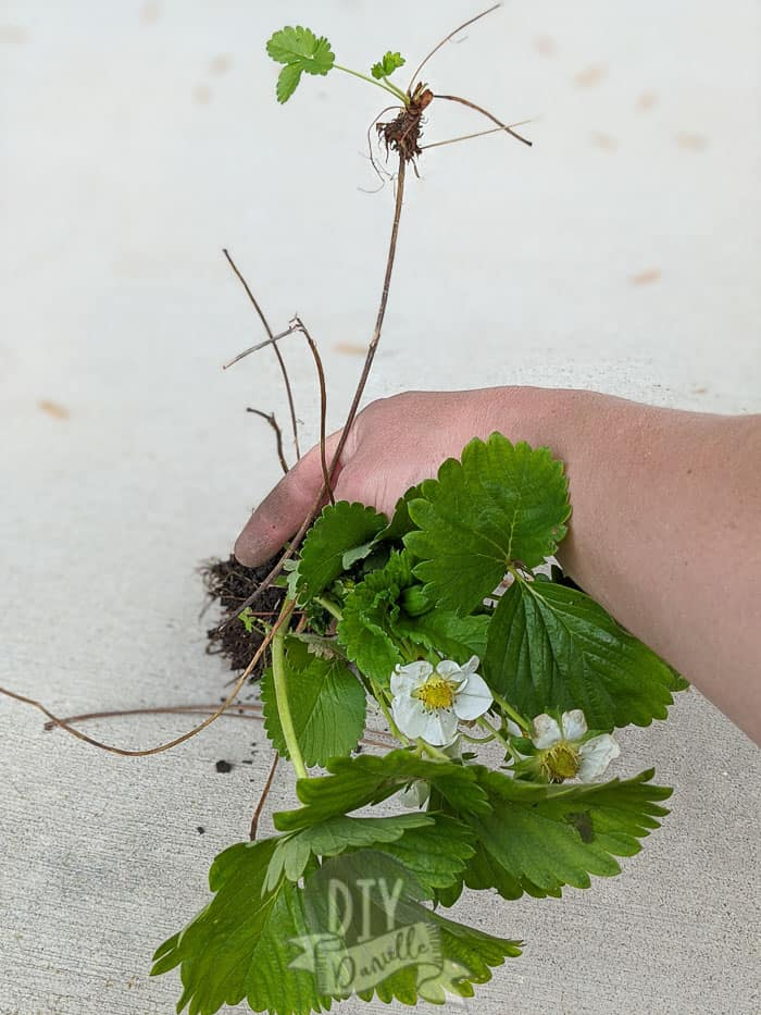 Small runner coming off a larger strawberry plant.