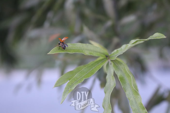 Ladybug with wings open, taking off from the leaf of a tree.