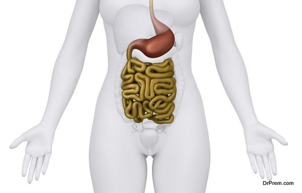 Female guts and stomach anatomy anterior view