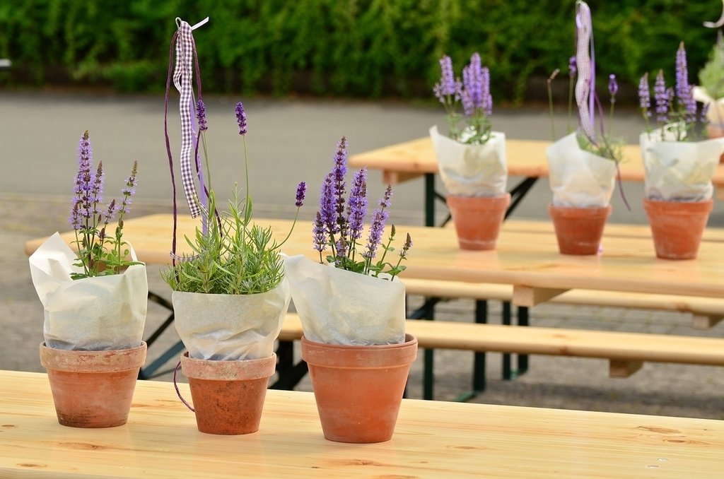 How To Grow Lavender In Pots Diy Herb Gardener