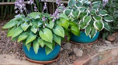 shady spot perennial plants