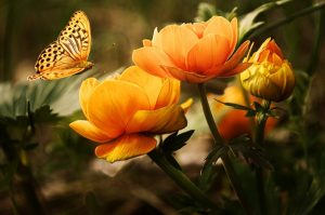 orange flower with butterfly for your yard