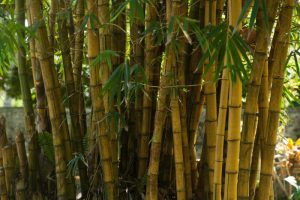 bamboo invasive species