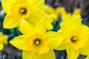 early spring flower daffodil