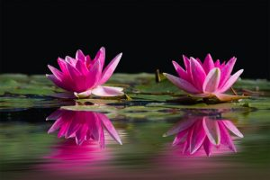 pink water lilies on pond