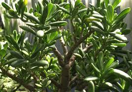 succulent jade plant