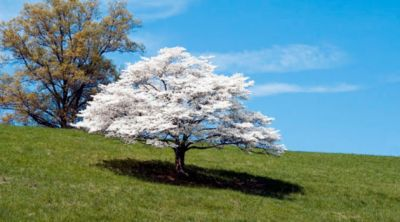 dogwood tree ornamental tree