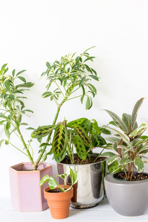 Some patterned plants can be trickier to grow than you might think. Variegated plants can have extra light and water needs, and patterned foliage can even lose its pretty colors. These tips will help you keep your patterned plants looking their best. #houseplants #plants #plantcare #patternedplants