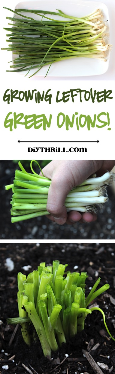Growing Leftover Green Onions