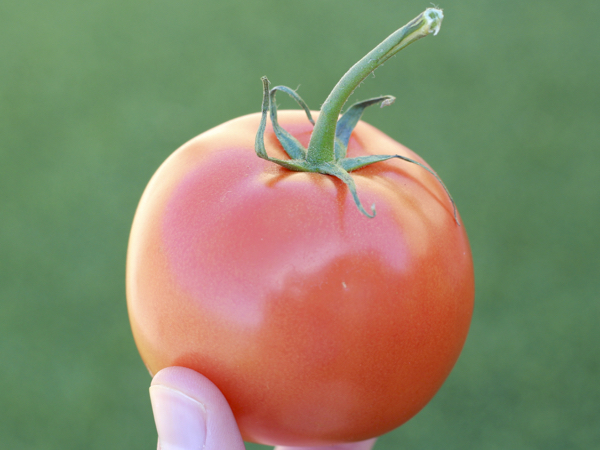 How To Grow Tomatoes In a Garden