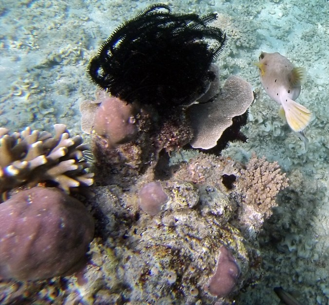 Puffer fish with coral