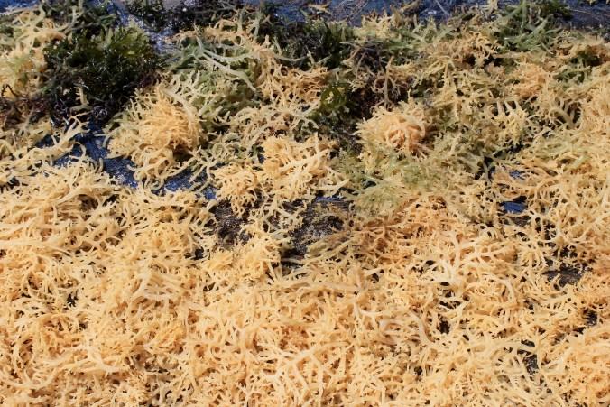 Yellow Seaweed Nusa Lembongan Bali