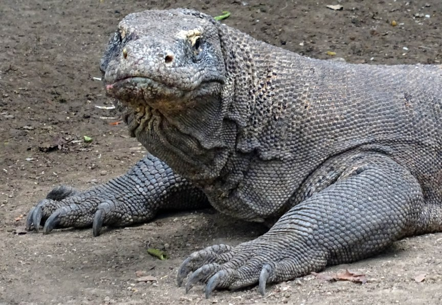 Komodo Dragon Up Close