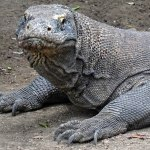 Komodo Dragon: Fact or Fiction