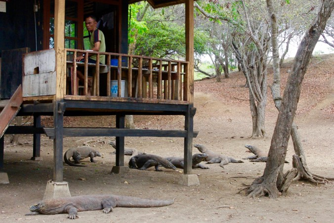 Komodo Dragons In Front of Kitchen