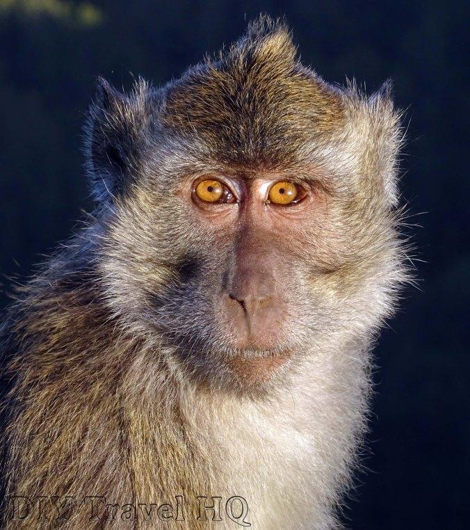 Mt Kelimutu Monkey