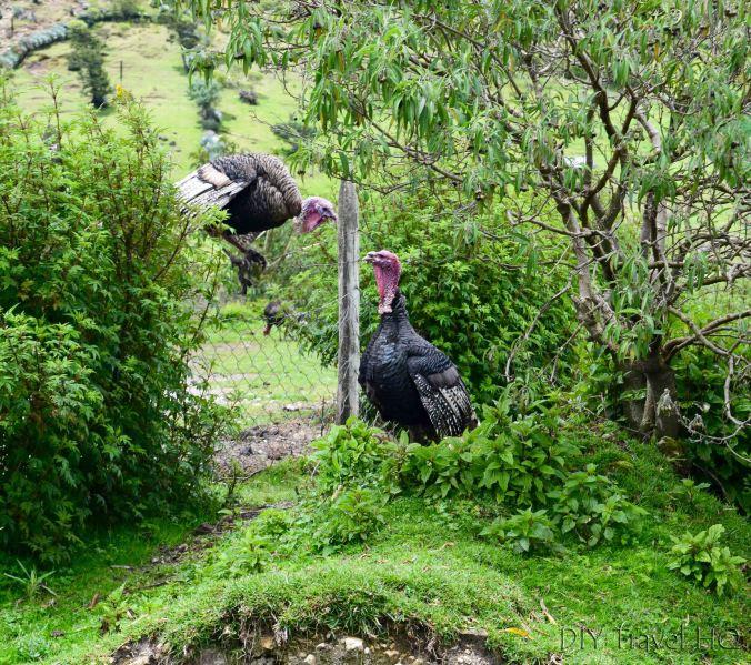 Exploring La Ventosa Turkey Staring Contest