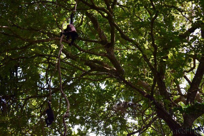 Black howler monkeys