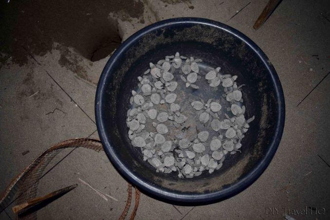 Sea turtles collected in El Salvador