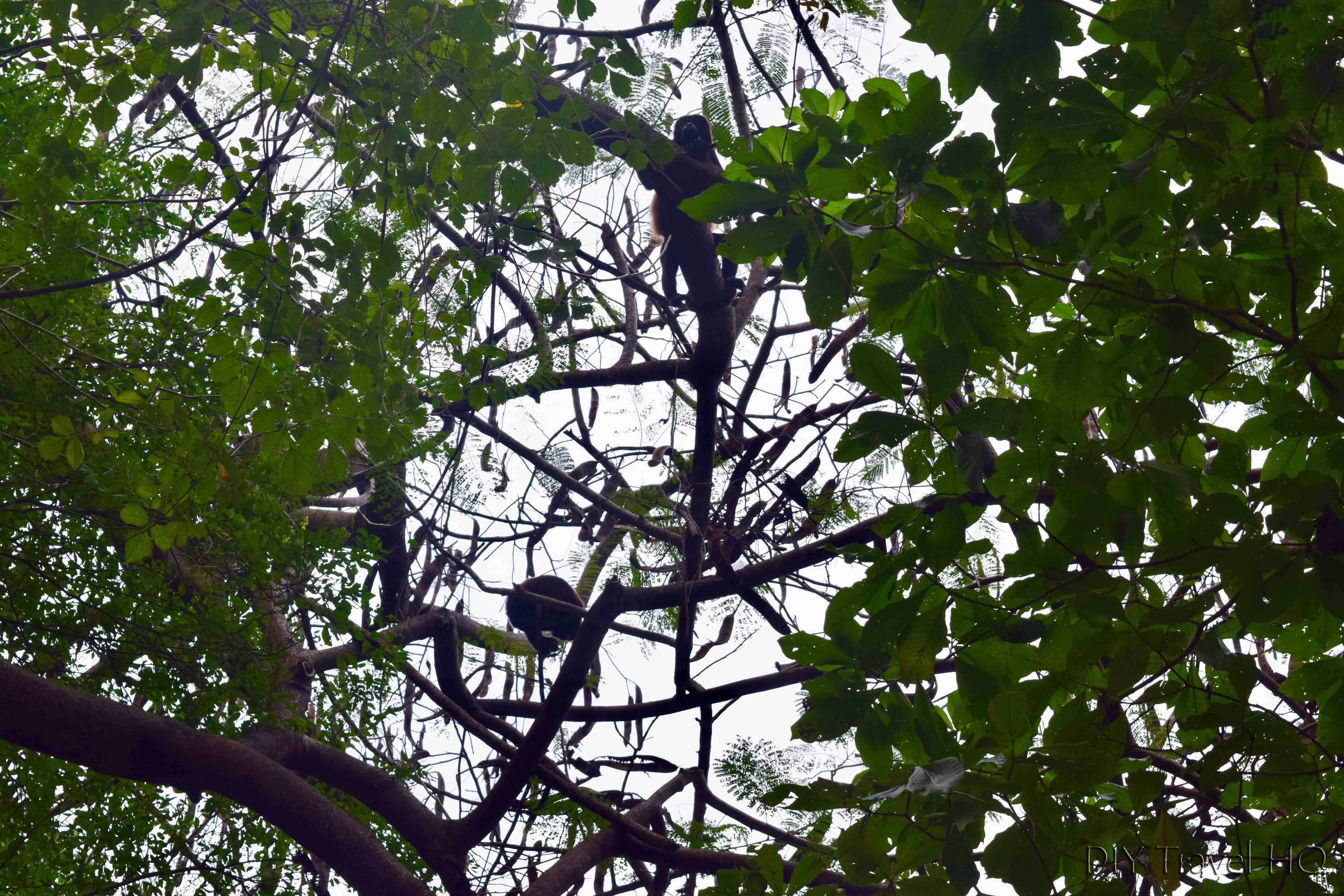 The Peace Project Resident Howler Monkeys