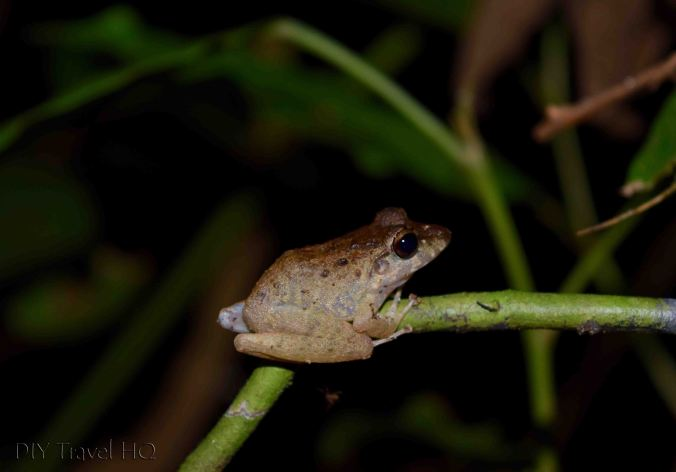 Frog Manuel Antonio