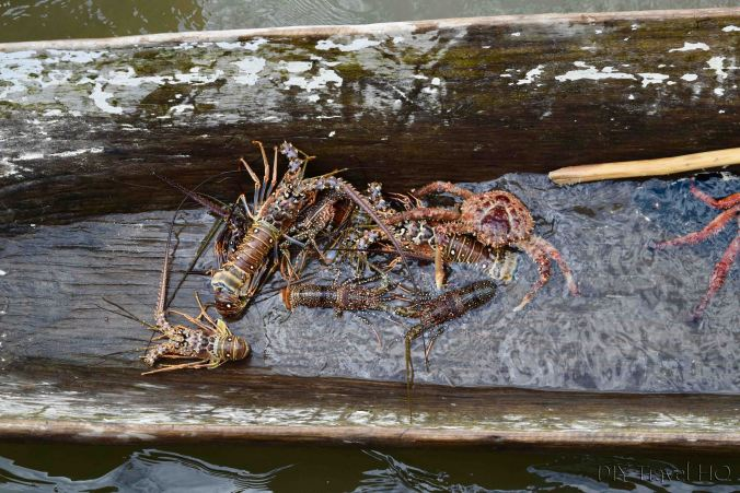 Carti Port Lobsters for Sale