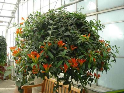 Eschinantus dalam Bloom.