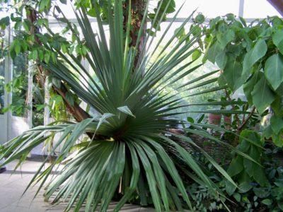 Pandanus circondato da altre piante