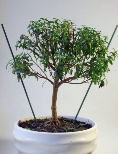 La formation de myrta sous bonsaï