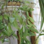 Tørre tips av bladbanene
