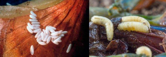 Жұмыртқа және личинкалар пияз кружкалары